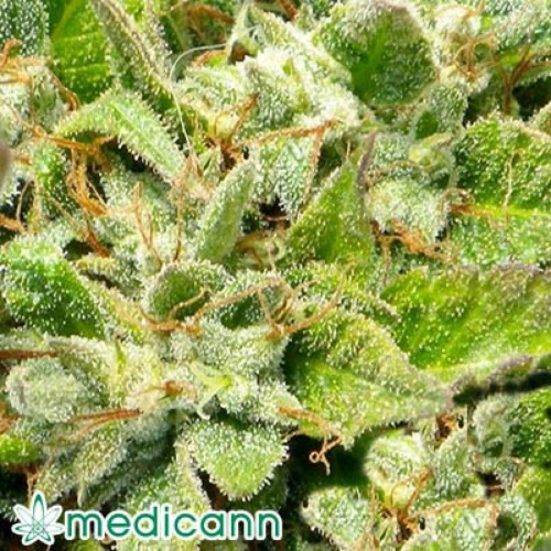 Bubba Kush - Medicann Seeds