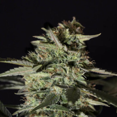 Medizinal CBD - Genehtik Seeds