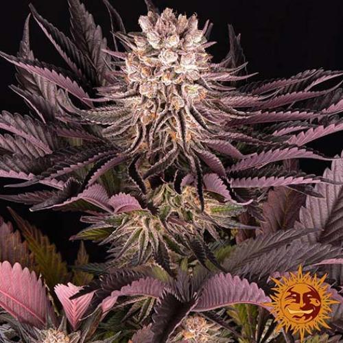 Mimosa X Orange Punch - Barney's Farm bloei
