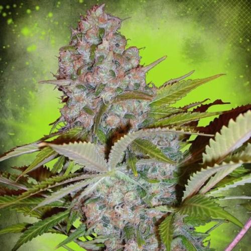 Auto Cream NL - Ministry of Cannabis