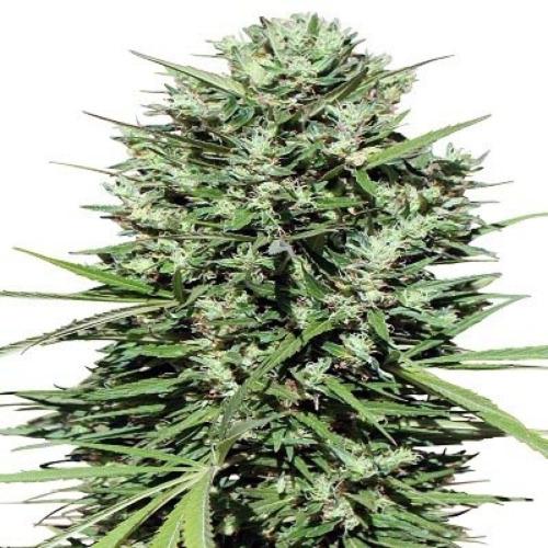 Moroccan Beldia Kif - Ace Seeds