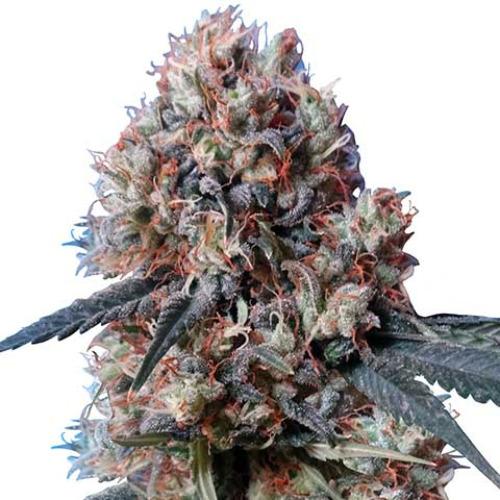 Nepal Jam x Kali China - Ace Seeds