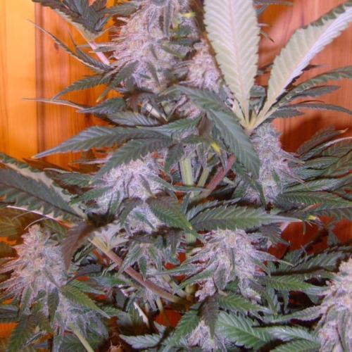 Pure Power Plant - Nirvana wietplant binnen kweken