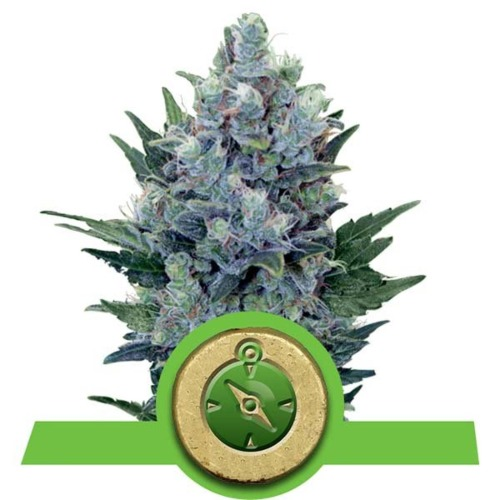 Northern Light Automatic strain - Royal Queen Seeds