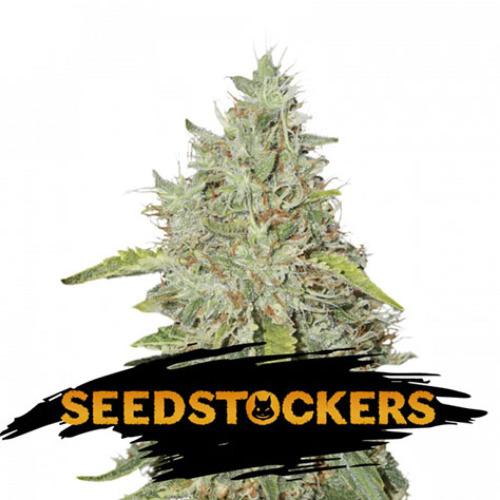 Northern Lights - Seedstockers