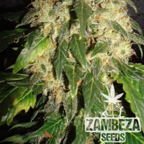 NYC Diesel - Zambeza Seeds bloeiperiode