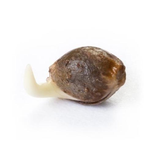 Ontkiemd wietzaadje OG Kush - Royal Queen Seeds