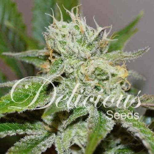 Original Juan Herer - Delicious Seeds