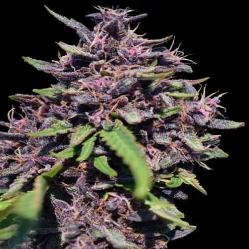 Panama x PCK - Ace Seeds