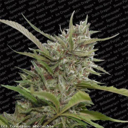 Auto Whiteberry - Paradise Seeds