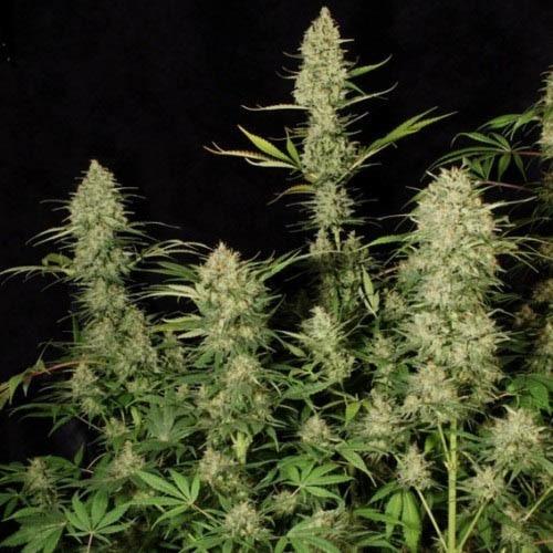 Delahaze - Paradise Seeds mooie toppen wietplant