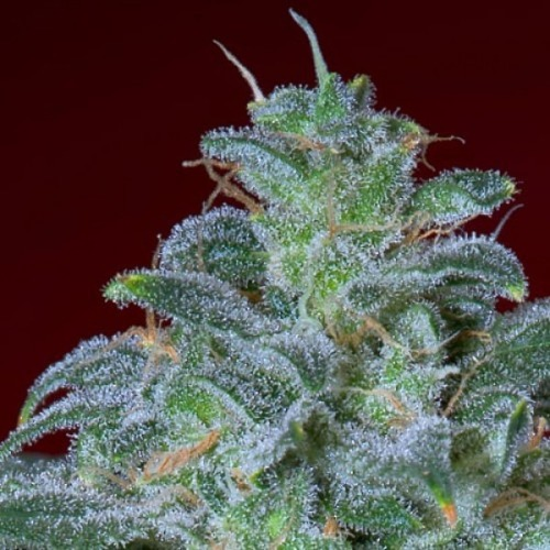 Magic Bud - Paradise Seeds wiettop close-up