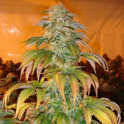 Spoetnik #1 - Paradise Seeds mooie top wietplant