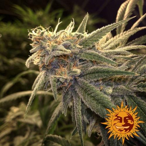Peppermint Kush strain - Barney's Farm