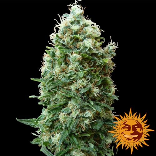 Phatt Fruity - Barney's Farm