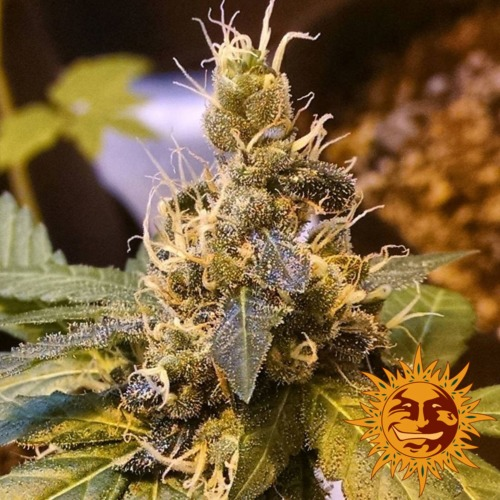 Pineapple Express autoflower bud - Barney's Farm seed bank