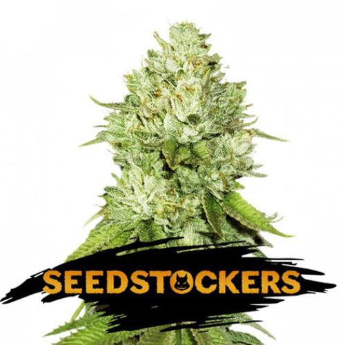 Pineapple - Seedstockers