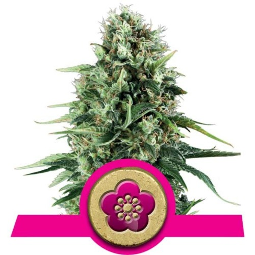 Power Flower wietsoort - Royal Queen Seeds