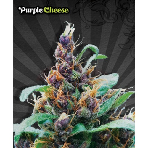 Purple Stilton Autoflower - Auto seeds
