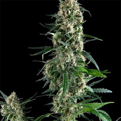 Amnesia Gold - Pyramid Seeds