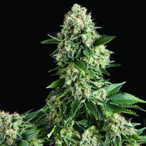 Auto New York City - Pyramid Seeds autoflower