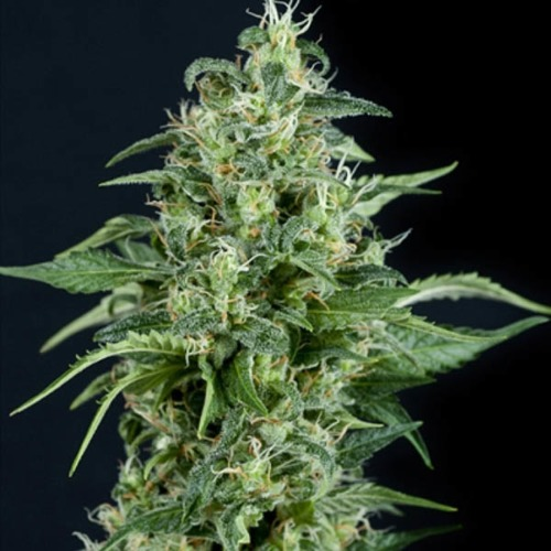 Kryptonite - Pyramid Seeds