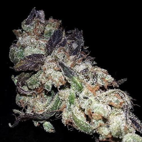 Icer - R-kiem Seeds dry cannabis