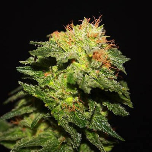 Portela - R-kiem Seeds