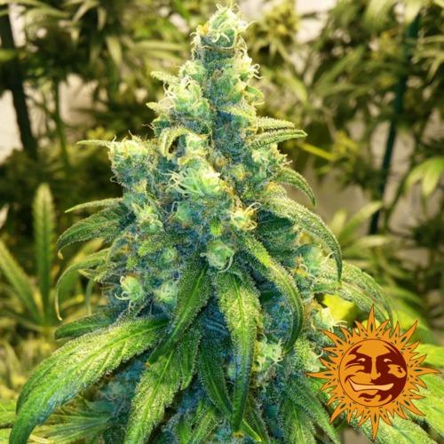 Red Dragon cannabis plant - Barney's Farm