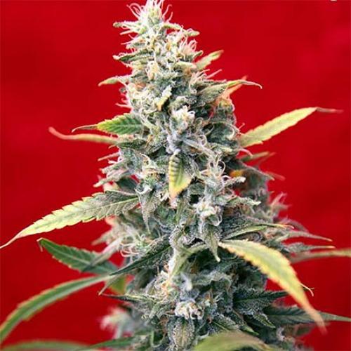 Senora Amparo - Reggae Seeds wietplant top