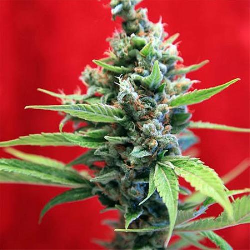 Senora Amparo - Reggae Seeds foto van wietplant bloei