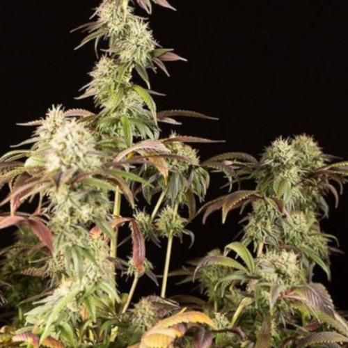 Remo Chemo - Dinafem wietplant in bloei