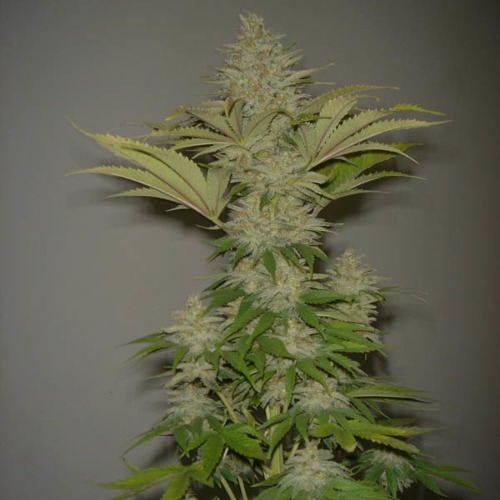 Bubblicious - Resin Seeds