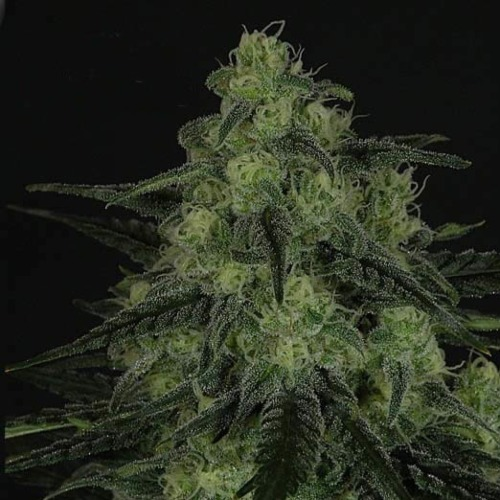 Black Valley - Ripper Seeds