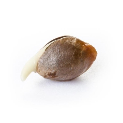 Ontkiemd zaadje Royal Bluematic - Royal Queen Seeds
