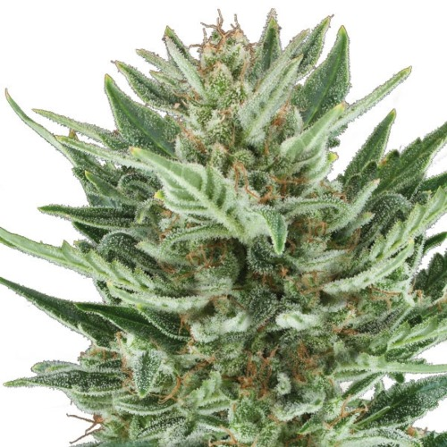 Royal Cheese Automatic - Royal Queen Seeds