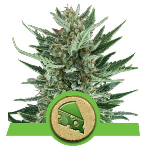Royal Cheese Automatic strain - Royal Queen Seeds