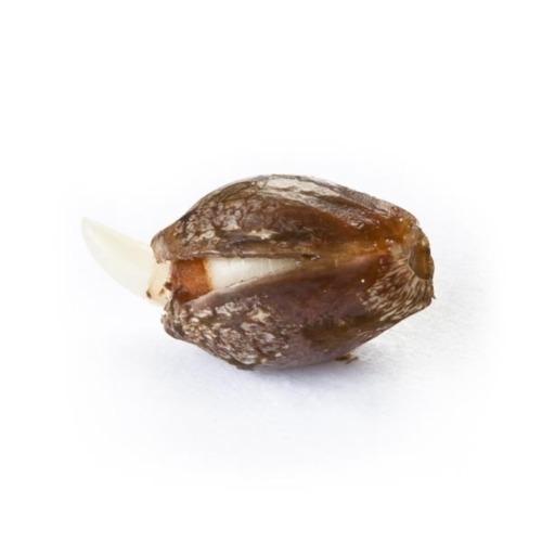 Ontkiemd wietzaadje Royal Creamatic - Royal Queen Seeds