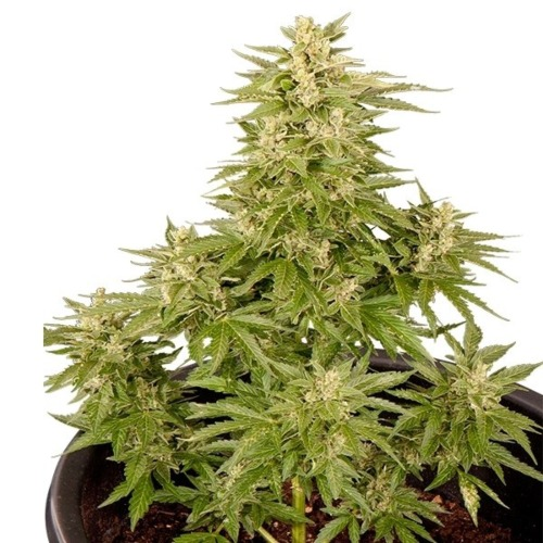 Royal Critical Auto - Royal Queen Seeds autoflower wietplant in pot