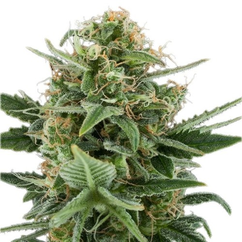 Royal Dwarf Auto - Royal Queen Seeds