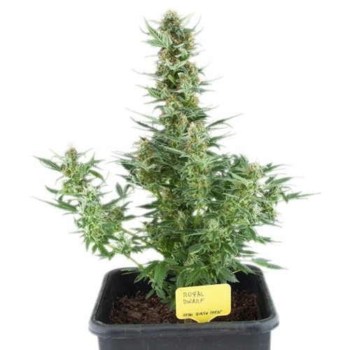 Royal Dwarf Auto - Royal Queen Seeds autoflower wietplant in pot