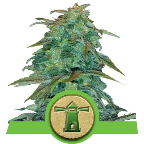 Royal Haze Auto wietsoort - Royal Queen Seeds