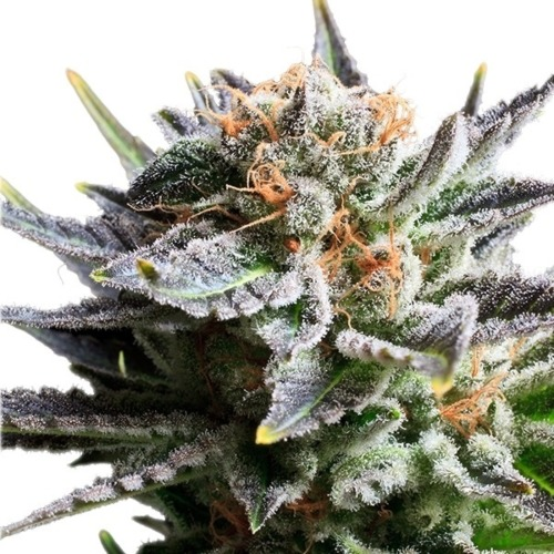 Fruit Spirit - Royal Queen Seeds wiettop in bloei