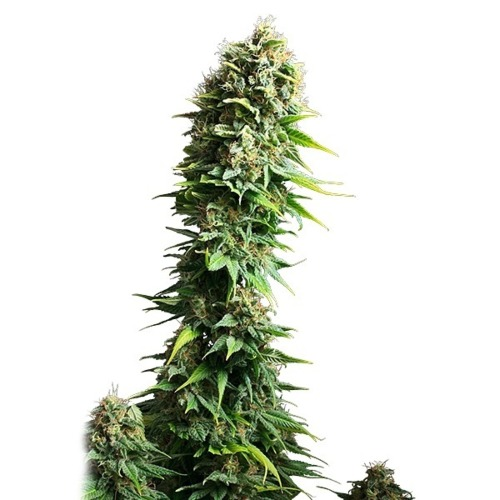 Fruit Spirit - Royal Queen Seeds lange top wietplant