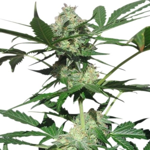 Northern Light Automatic - Royal Queen Seeds close up wietplant