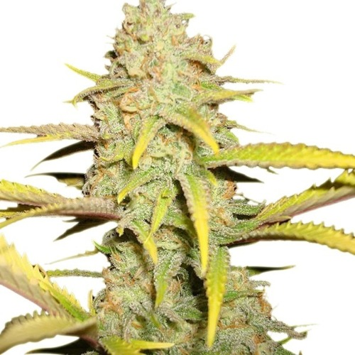 OG Kush - Royal Queen Seeds feminised wietplant top dichtbij