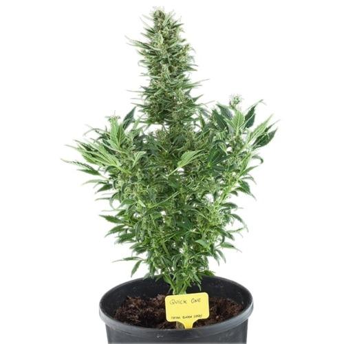 Quick One Auto - Royal Queen Seeds autoflower wietplant in pot