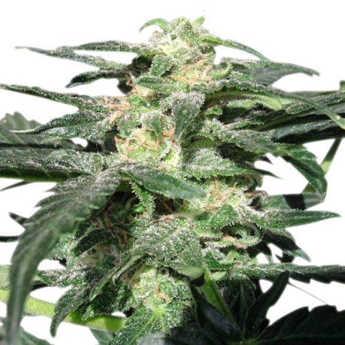 Royal Haze Auto - Royal Queen Seeds close up autoflower wiettop