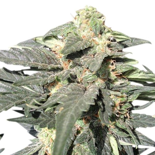 Royal Haze Auto - Royal Queen Seeds autoflower wietplant in bloei