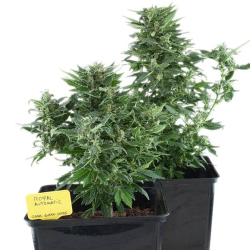 Royal Kush Auto - Royal Queen Seeds wietplant in pot